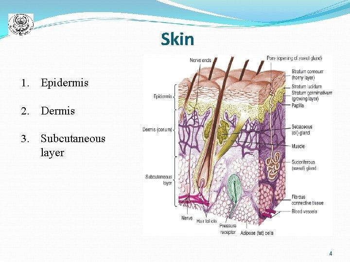Skin 1. Epidermis 2. Dermis 3. Subcutaneous layer 4