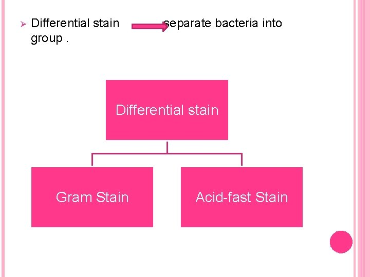 Ø Differential stain group. separate bacteria into Differential stain Gram Stain Acid-fast Stain