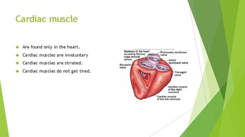 Cardiac muscle Are found only in the heart. Cardiac muscles are involuntary Cardiac muscles