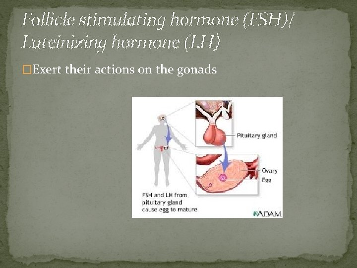 Follicle stimulating hormone (FSH)/ Luteinizing hormone (LH) �Exert their actions on the gonads