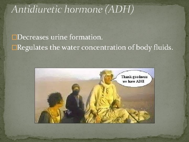 Antidiuretic hormone (ADH) �Decreases urine formation. �Regulates the water concentration of body fluids.