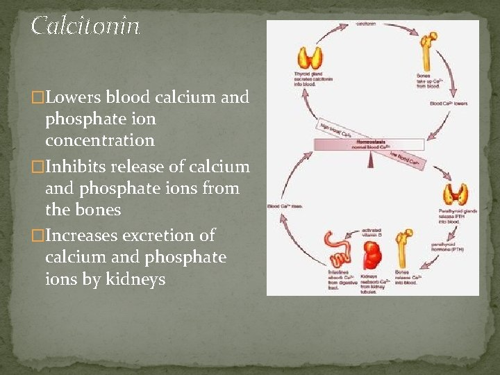 Calcitonin �Lowers blood calcium and phosphate ion concentration �Inhibits release of calcium and phosphate