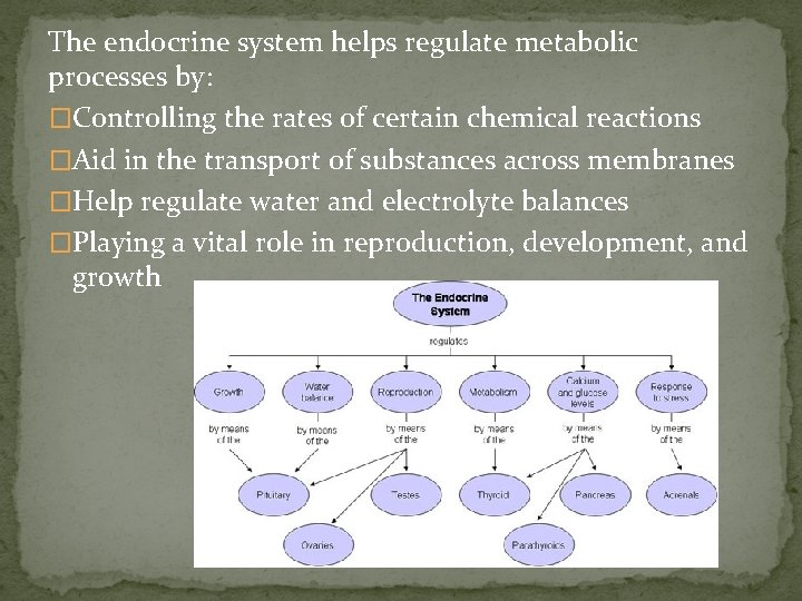 The endocrine system helps regulate metabolic processes by: �Controlling the rates of certain chemical