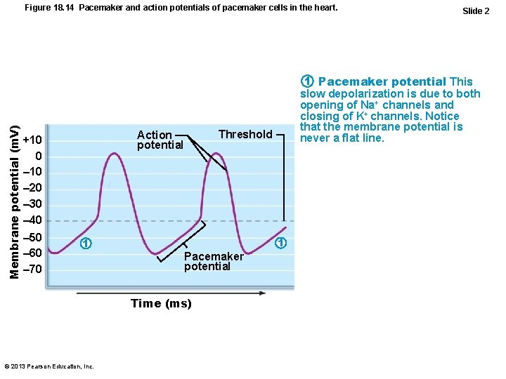 Membrane potential (m. V) Figure 18. 14 Pacemaker and action potentials of pacemaker cells