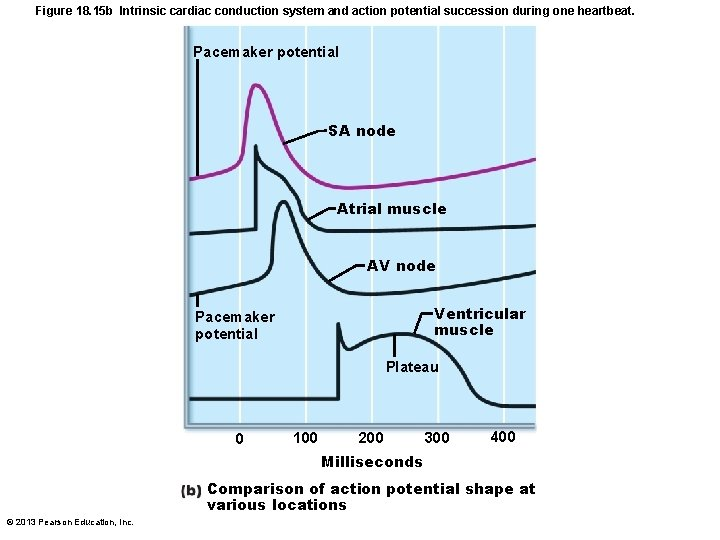 Figure 18. 15 b Intrinsic cardiac conduction system and action potential succession during one