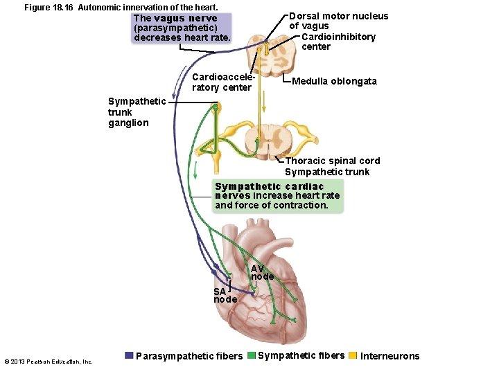 Figure 18. 16 Autonomic innervation of the heart. The vagus nerve (parasympathetic) decreases heart