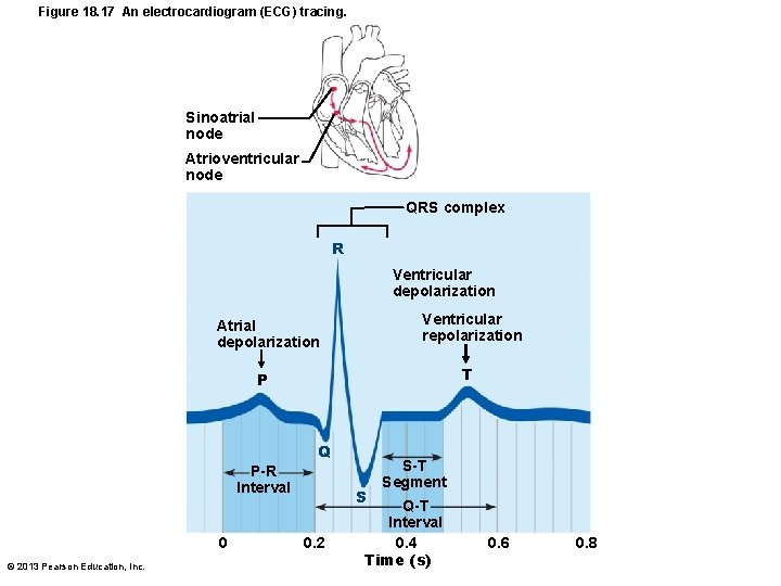 Figure 18. 17 An electrocardiogram (ECG) tracing. Sinoatrial node Atrioventricular node QRS complex R