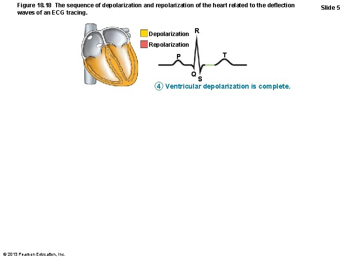 Figure 18. 18 The sequence of depolarization and repolarization of the heart related to