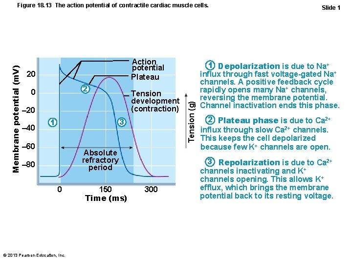 Action potential Plateau 20 2 0 Tension development (contraction) – 20 – 40 3