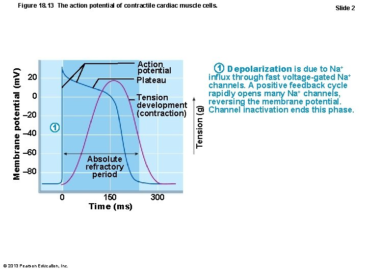 Action potential Plateau 20 0 Tension development (contraction) – 20 – 40 1 –