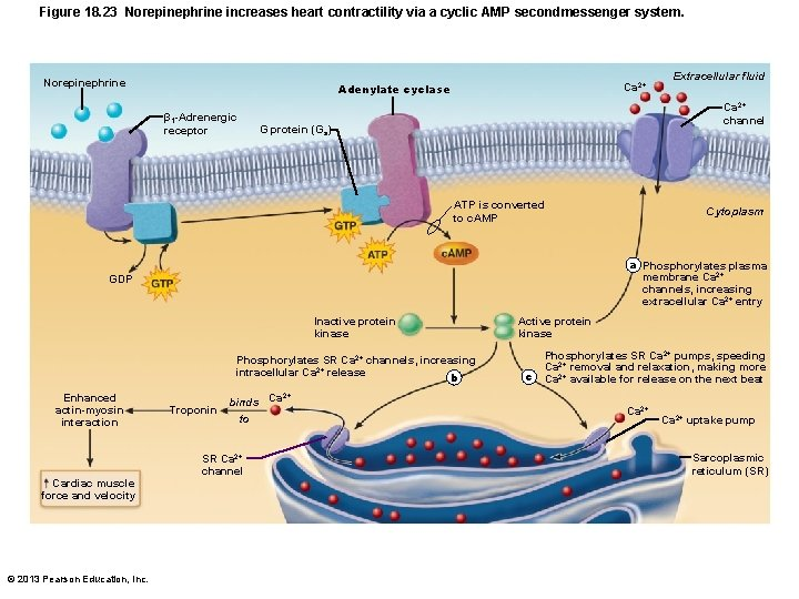 Figure 18. 23 Norepinephrine increases heart contractility via a cyclic AMP secondmessenger system. Norepinephrine