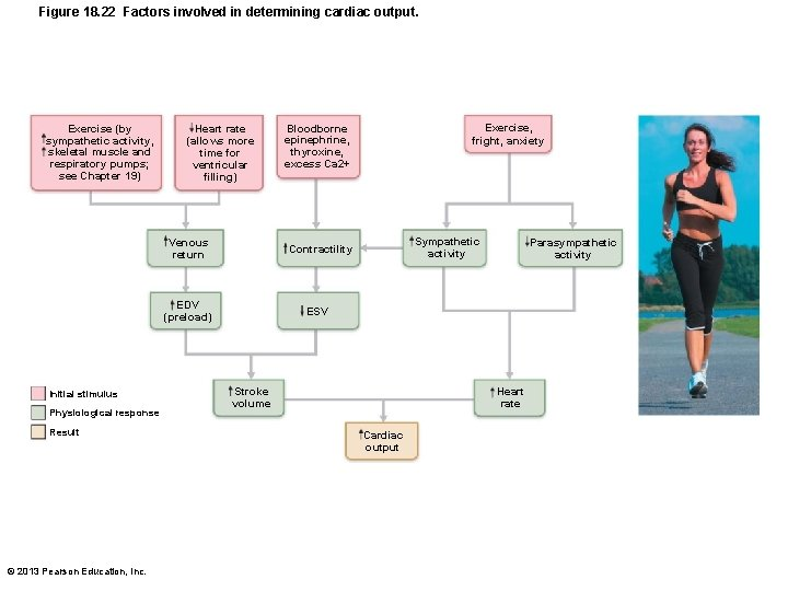 Figure 18. 22 Factors involved in determining cardiac output. Exercise (by sympathetic activity, skeletal