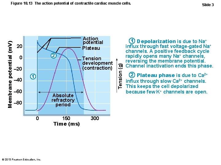 Action potential Plateau 20 2 0 – 20 – 40 Tension development (contraction) 1