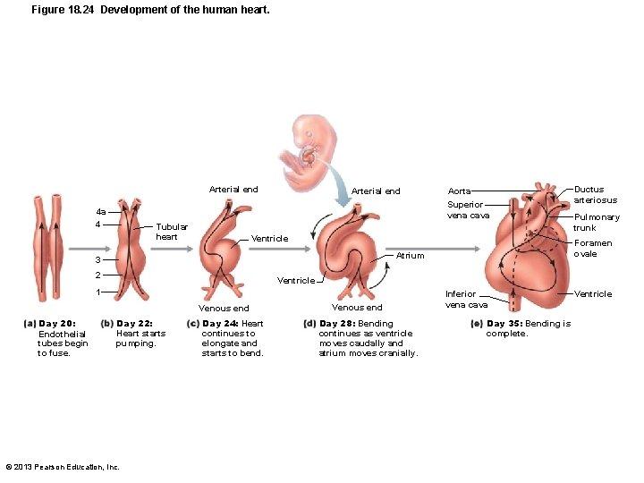 Figure 18. 24 Development of the human heart. Arterial end Superior vena cava 4