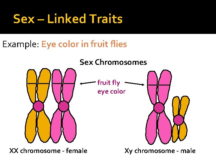Sex – Linked Traits Example: Eye color in fruit flies Sex Chromosomes fruit fly