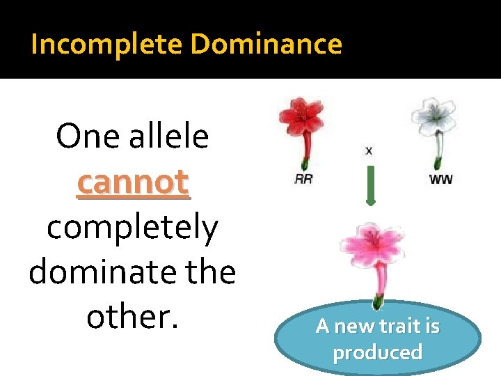Incomplete Dominance One allele cannot completely dominate the other. A new trait is produced