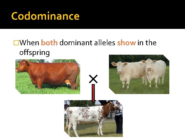 Codominance �When both dominant alleles show in the offspring