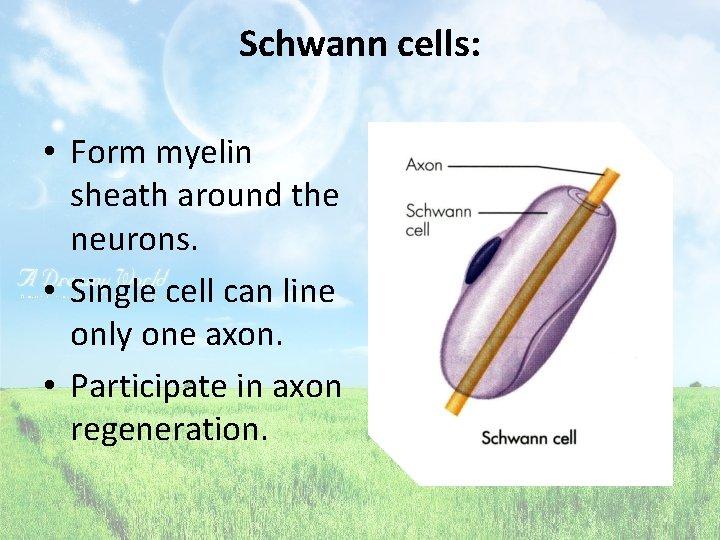 Schwann cells: • Form myelin sheath around the neurons. • Single cell can line