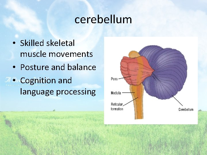 cerebellum • Skilled skeletal muscle movements • Posture and balance • Cognition and language