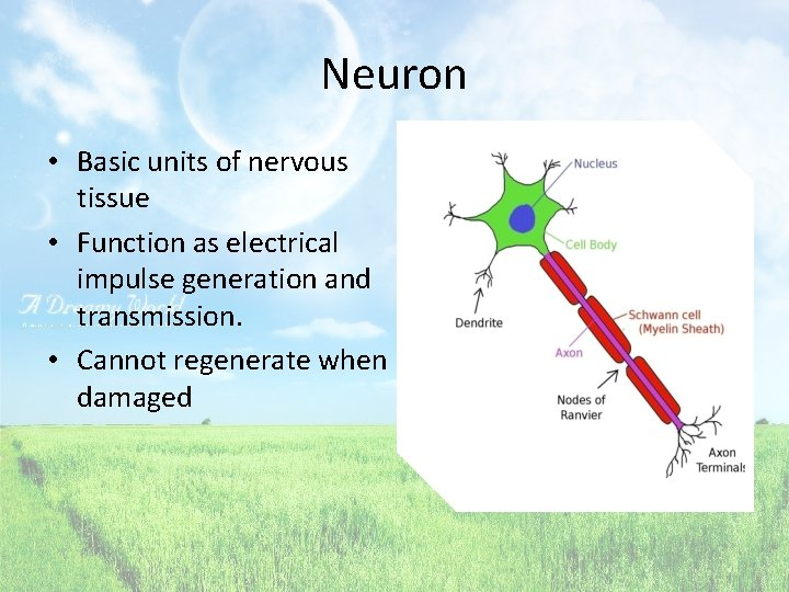 Neuron • Basic units of nervous tissue • Function as electrical impulse generation and