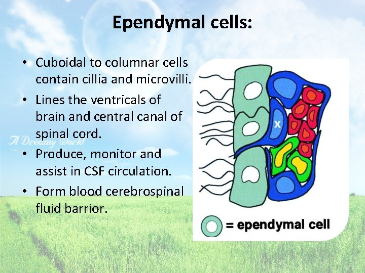 Ependymal cells: • Cuboidal to columnar cells contain cillia and microvilli. • Lines the