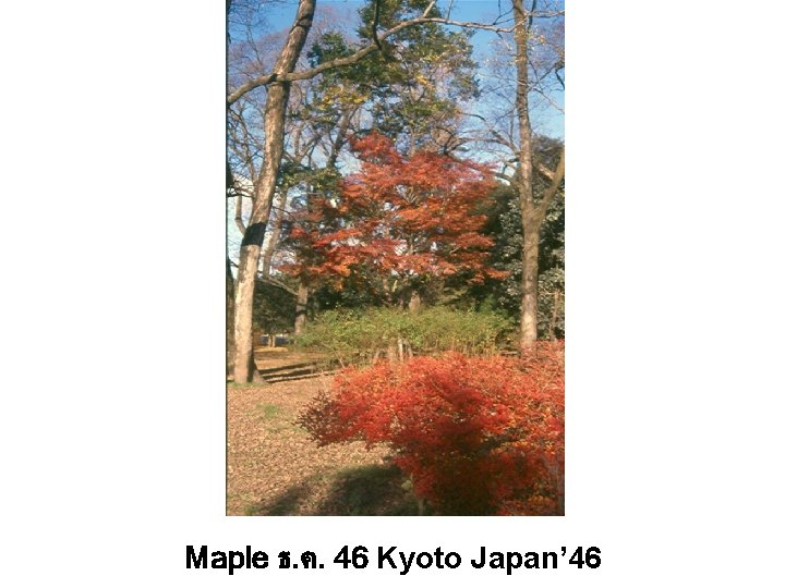 Maple ธ. ค. 46 Kyoto Japan' 46