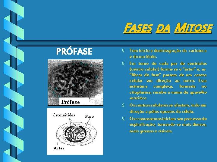 FASES DA MITOSE PRÓFASE b b Tem início a desintegração da carioteca e do