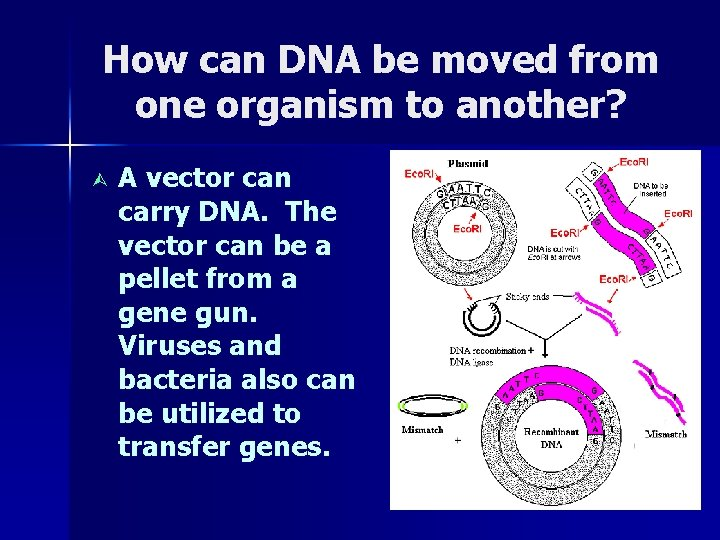 How can DNA be moved from one organism to another? Ù A vector can