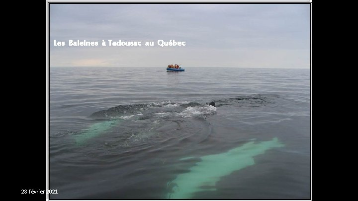 Les Baleines à Tadousac au Québec 28 février 2021