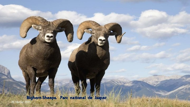 Bighorn Sheeps. Parc national de Jasper 28 février 2021