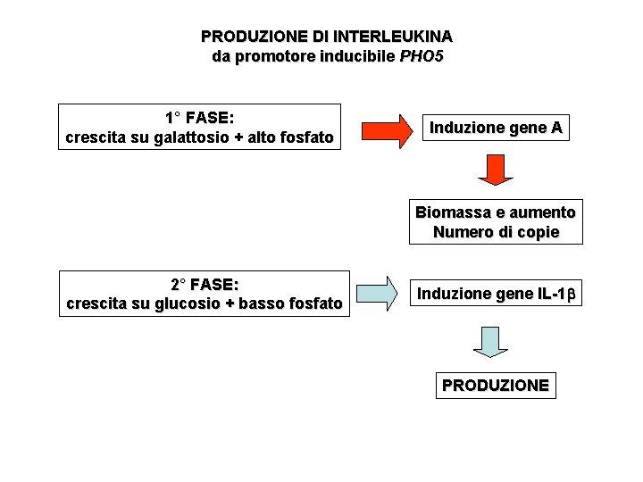 PRODUZIONE DI INTERLEUKINA da promotore inducibile PHO 5 1° FASE: crescita su galattosio +