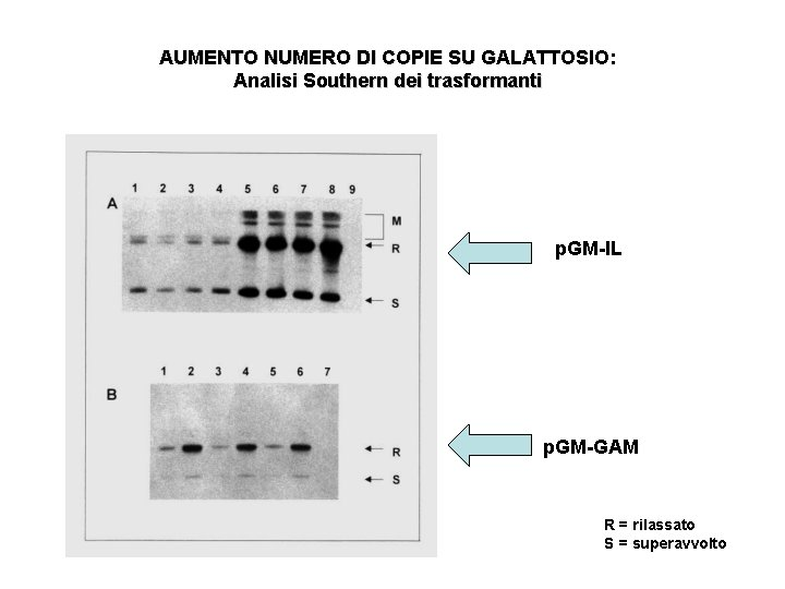 AUMENTO NUMERO DI COPIE SU GALATTOSIO: Analisi Southern dei trasformanti p. GM-IL p. GM-GAM