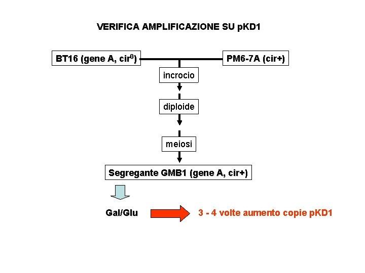 VERIFICA AMPLIFICAZIONE SU p. KD 1 PM 6 -7 A (cir+) BT 16 (gene