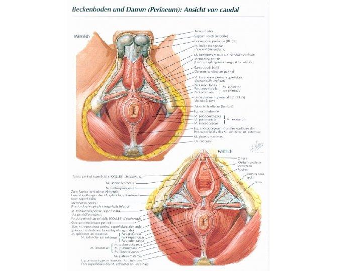 Scheide die weibliche Vulva und