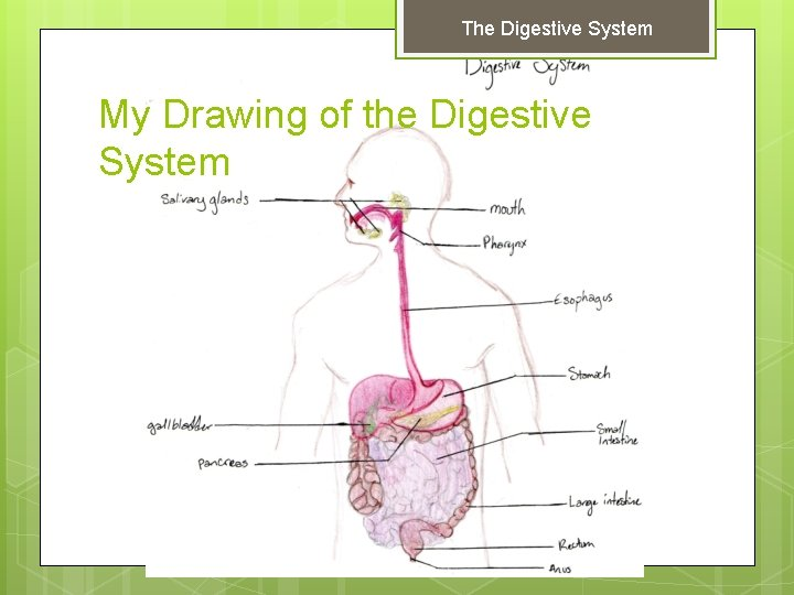 The Digestive System My Drawing of the Digestive System