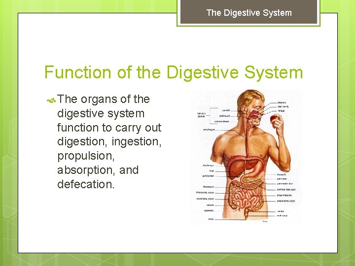 The Digestive System Function of the Digestive System The organs of the digestive system