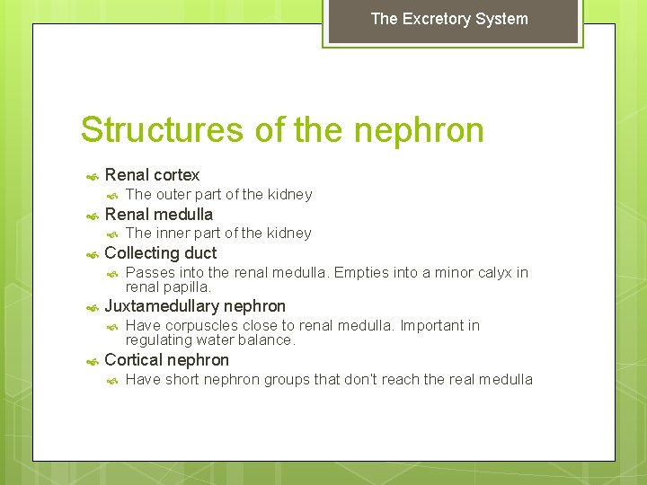 The Excretory System Structures of the nephron Renal cortex Renal medulla Passes into the