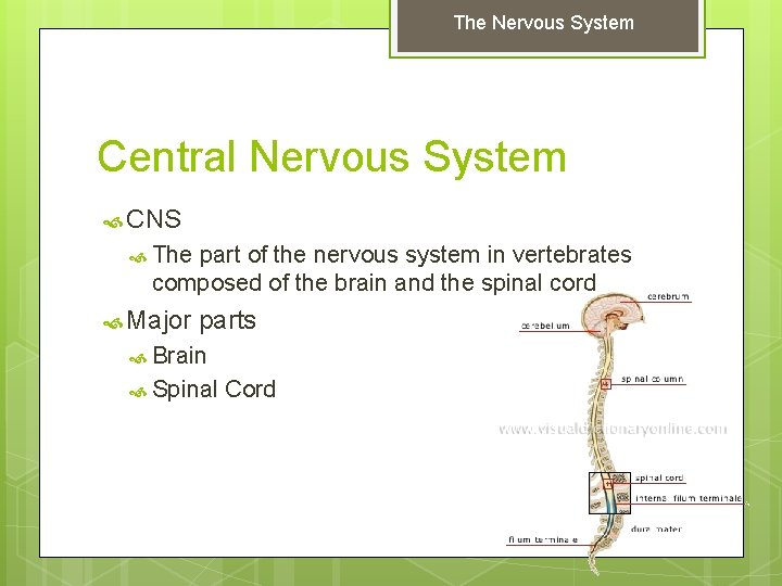 The Nervous System Central Nervous System CNS The part of the nervous system in