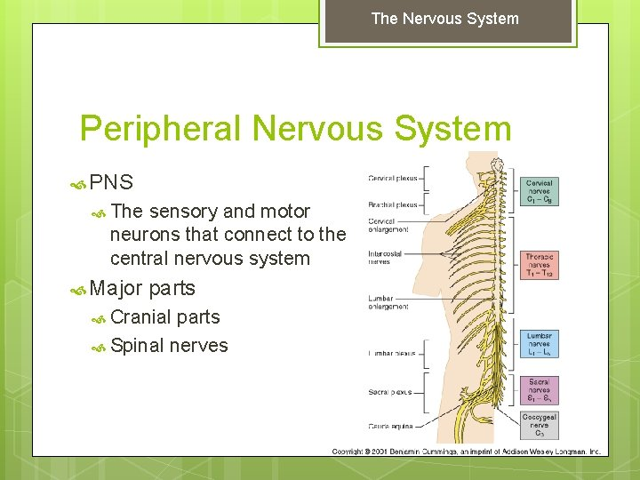 The Nervous System Peripheral Nervous System PNS The sensory and motor neurons that connect