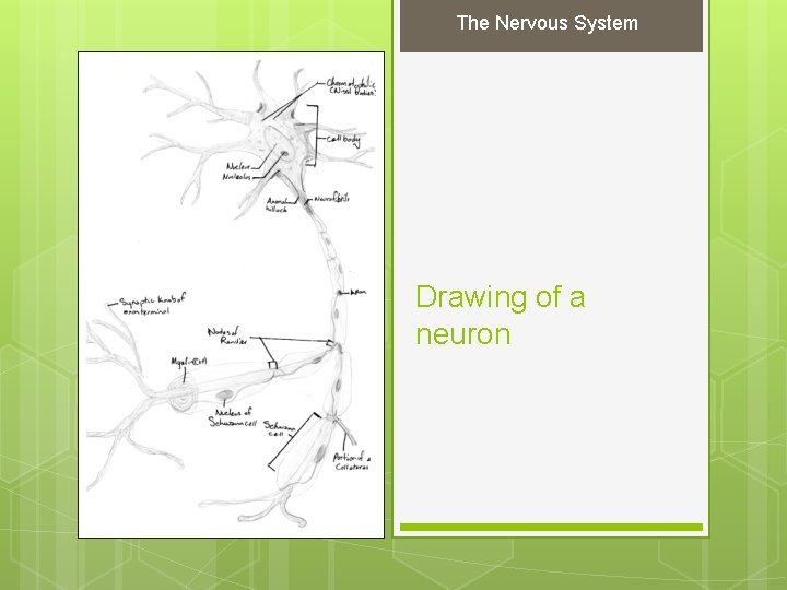 The Nervous System Drawing of a neuron