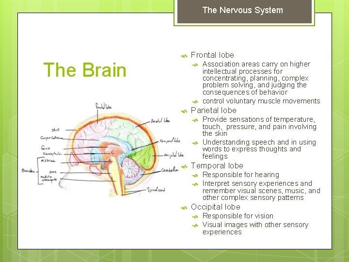The Nervous System The Brain Frontal lobe Parietal lobe Provide sensations of temperature, touch,