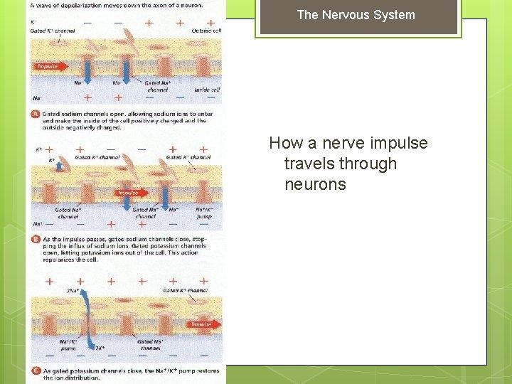 The Nervous System How a nerve impulse travels through neurons