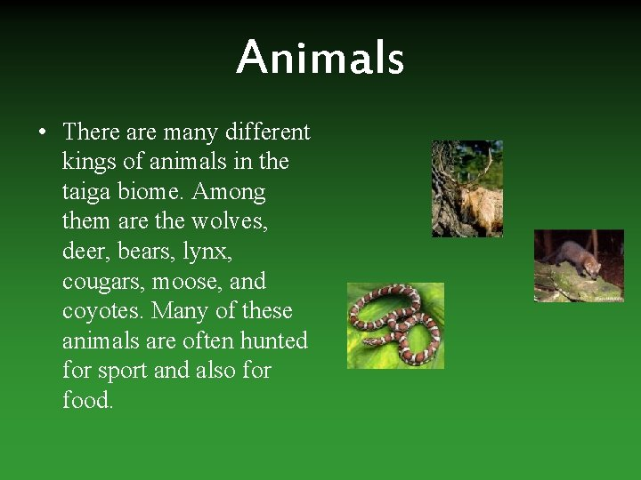 Animals • There are many different kings of animals in the taiga biome. Among