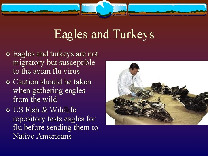 Eagles and Turkeys Eagles and turkeys are not migratory but susceptible to the avian