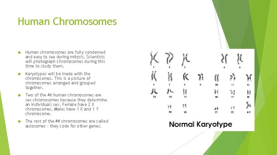 Human Chromosomes Human chromosomes are fully condensed and easy to see during mitosis. Scientists