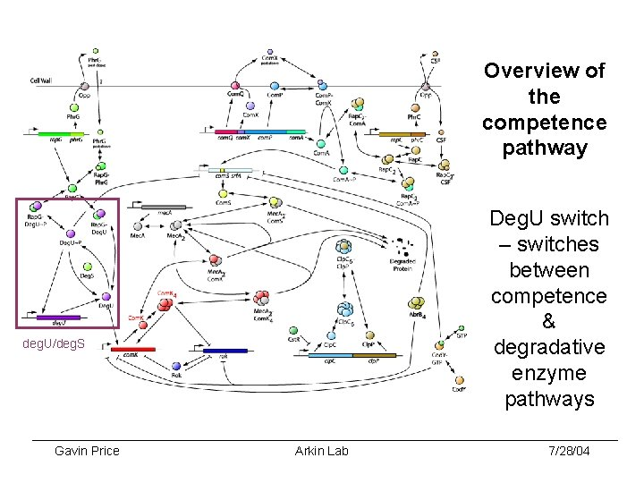 Overview of the competence pathway Deg. U switch – switches between competence & degradative