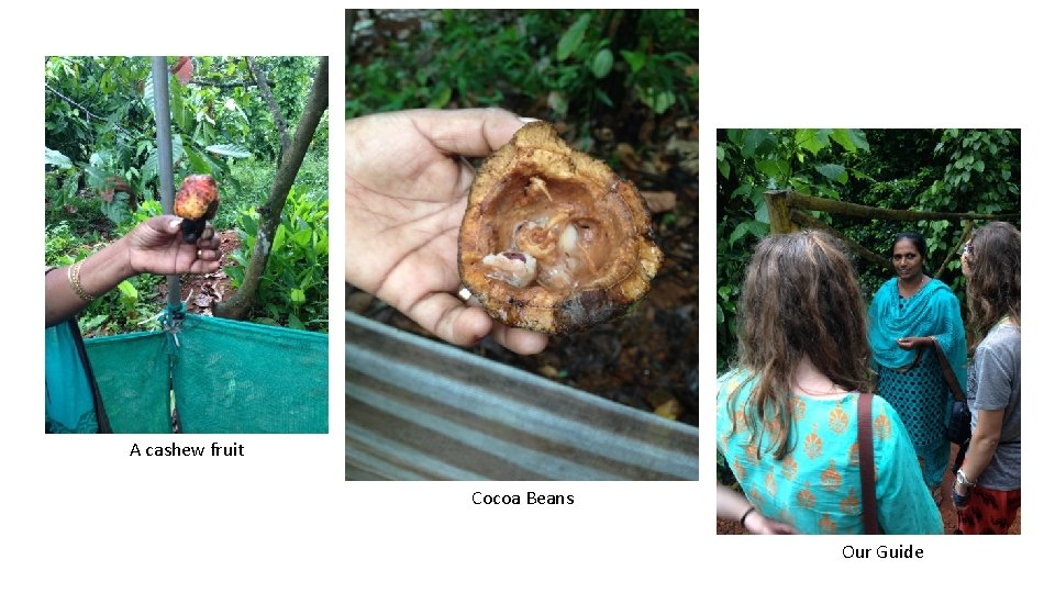 A cashew fruit Cocoa Beans Our Guide
