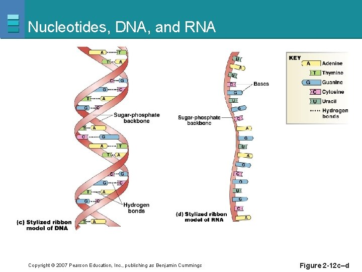 Nucleotides, DNA, and RNA Copyright © 2007 Pearson Education, Inc. , publishing as Benjamin