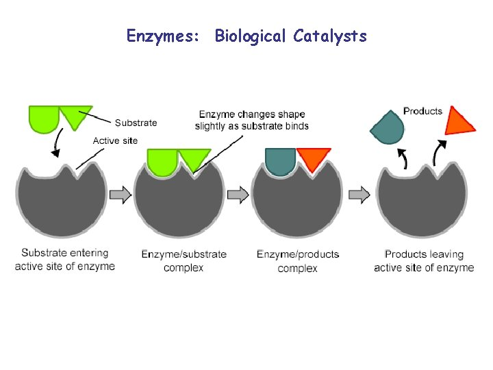Enzymes: Biological Catalysts