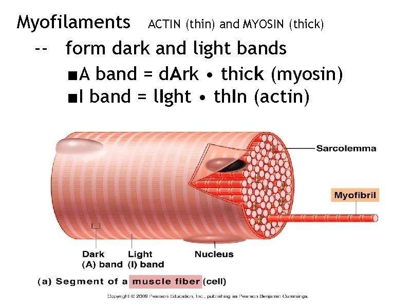 Myofilaments ACTIN (thin) and MYOSIN (thick) -- form dark and light bands ■A band